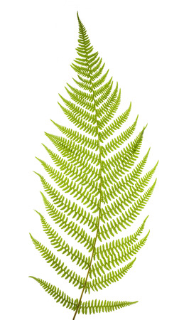 Green fern leaf isolated on white background 스톡 콘텐츠