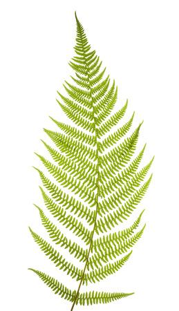 helechos: Hoja de helecho verde aislado en el fondo blanco