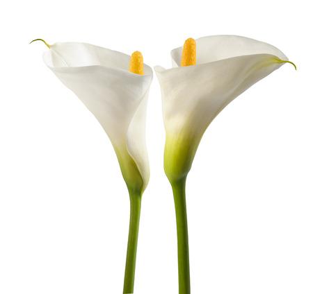 flor de lis: Lillies blancos, aislados en blanco. Bud y plena floración