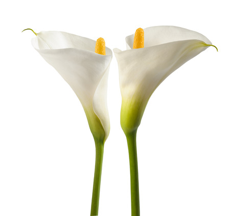 lillies: White calla lillies, isolated on white. Bud and full-bloom