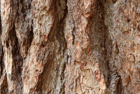 barks: Conifers bark, background with a larch bark Stock Photo