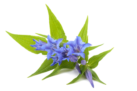 Gentiana asclepiadea isolated on white background 版權商用圖片