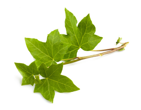 evergreen branch: Aislado hiedra rama aisladas sobre fondo blanco Foto de archivo
