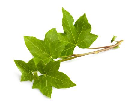 Ivy tak geïsoleerd op een witte achtergrond
