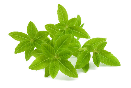 lemon balm: lemon verbena isolated on white background