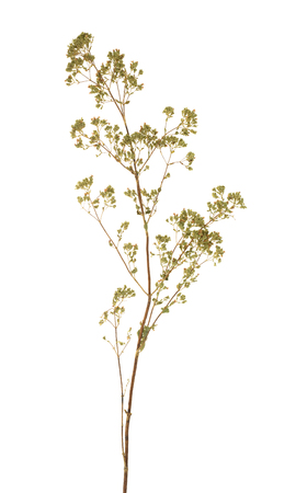 dried: Dried oregano sprig isolated on white Stock Photo