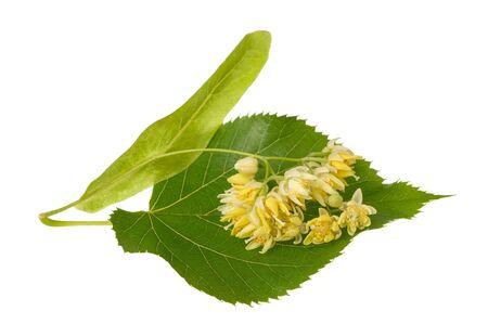 tilo: hoja de tilo con flores aisladas sobre fondo blanco