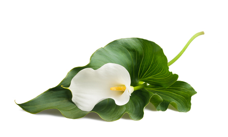 White calla lily with leaf isolated on white.