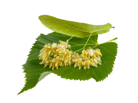 lime blossom: linden leaf with flowers isolated on white background Stock Photo
