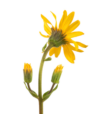 arnica: arnica back side view isolated on white