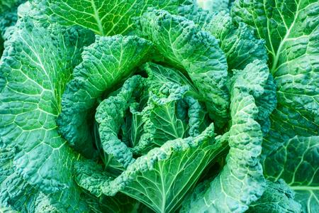 savoy cabbage: Fresh savoy cabbage, nature background Stock Photo
