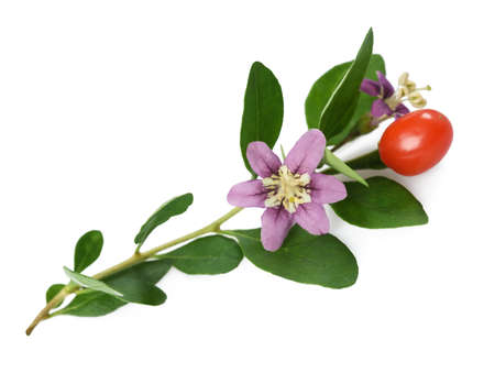 goji berry: flower berry and leaves goji. isolated onj white