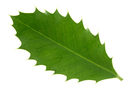 houx: feuille de houx isol� sur fond blanc