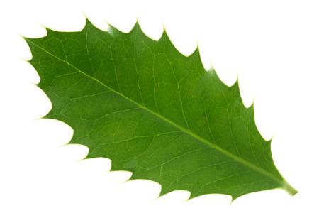 ilex aquifolium holly: holly leaf isolated on white background