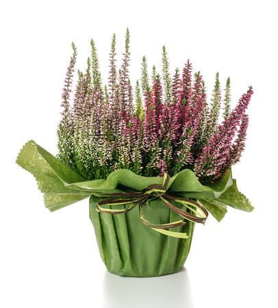 ericaceae: Calluna plant in a vase isolated on white