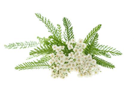 白いノコギリソウの花が白い背景で隔離。
