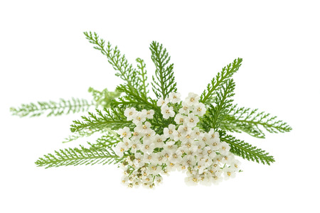 White yarrow flowers isolated on white background.