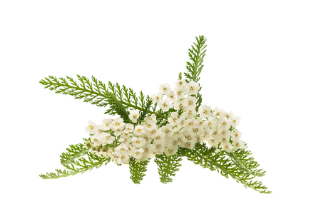 officinal: White yarrow flowers isolated on white background.
