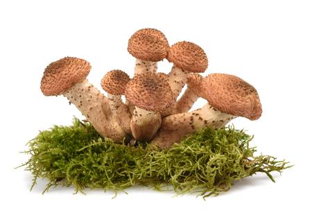 edible: honey fungus mushrooms isolated on white background