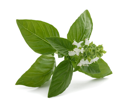 Basil with flowers  isolated on white background 스톡 콘텐츠