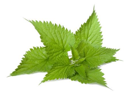 plantas medicinales: La ortiga aislado en fondo blanco
