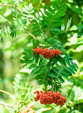 european rowan: Red Ripe rowan fruits on the tree