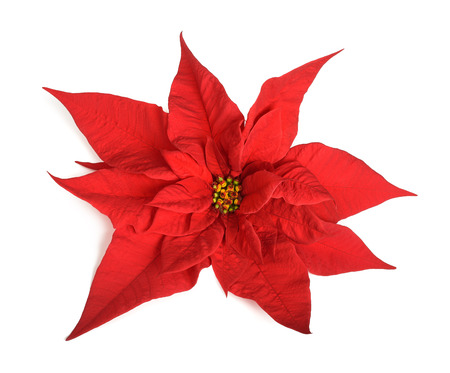 poinsettia: poinsettia flower isolated on white background
