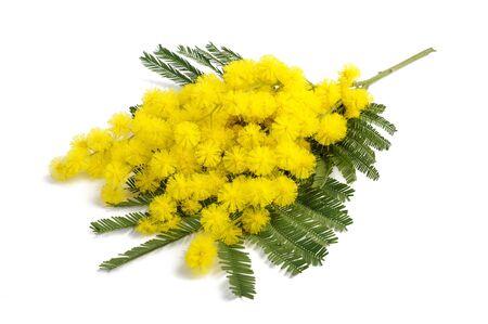 Mimosa (argento acacia) ramo isolato su sfondo bianco. Archivio Fotografico