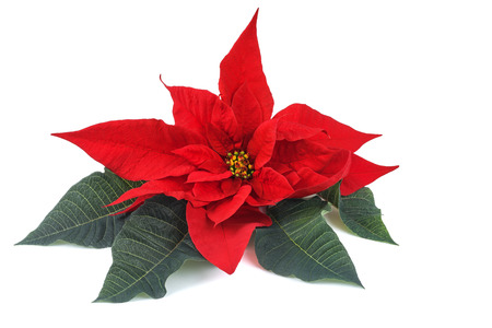 poinsettia flower with leaves isolated on white background Imagens