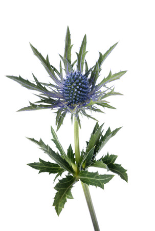 blue sea holly isolated on white background
