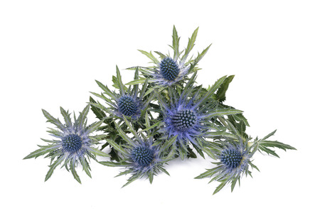 thistle plant: blue sea holly isolated on white background