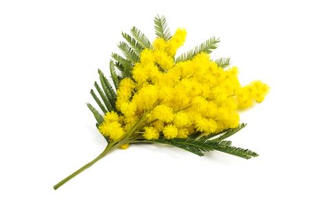 mimose: Mimosa (argento acacia) ramo isolato su sfondo bianco. Archivio Fotografico