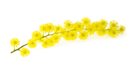 wattle: Mimosa (silver wattle) branch isolated on white background.