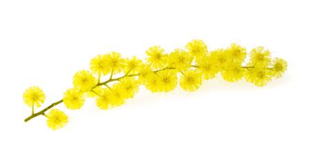 Mimosa (zilveren acacia) tak die op witte achtergrond wordt geïsoleerd. Stockfoto - 50917734