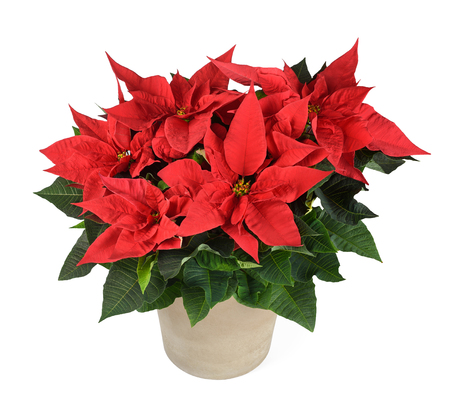 Red poinsettia plant in vase isolated on white Stock Photo