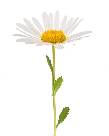 daisy stem: White daisy with stem isolated on white background