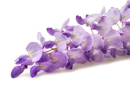 wisteria: wisteria flowers isolated on white background