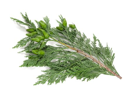 cypress twig with buds isolated on white