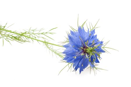 cumin: black caraway flower isolated on white background