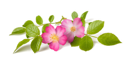 Dog rose (Rosa canina) flowers on a white background