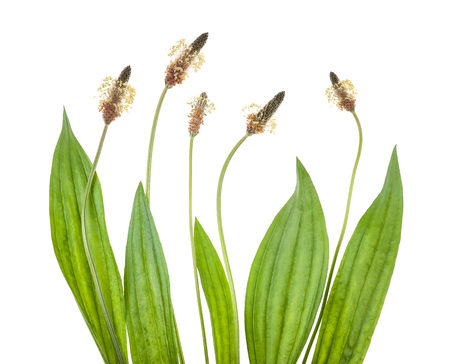 plantain: ribwort plantain isolated on white