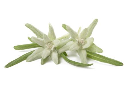 Edelweiss op een witte achtergrond Stockfoto - 54550589