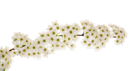crataegus: Hawthorn (Crataegus monogyna) branch with flowers isolated on a white background