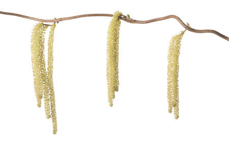 corylus: Hazel branch with catkins isolated on white (Corylus avellana)