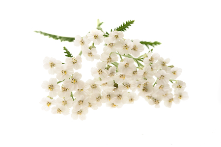 yarrow: White yarrow flowers isolated on white background.