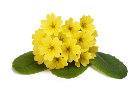 officinalis: Primrose flowers  isolated on white background. Primula veris.