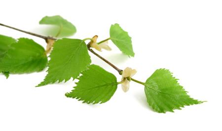branche de bouleau avec des feuilles isolé sur blanc. Banque d'images