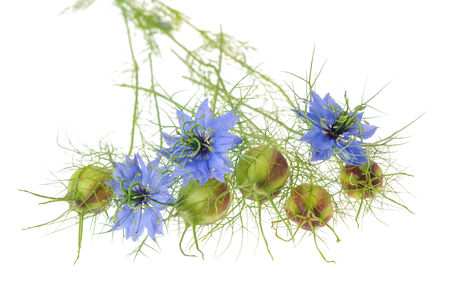 globule: nigella flowers with pods isolated on white