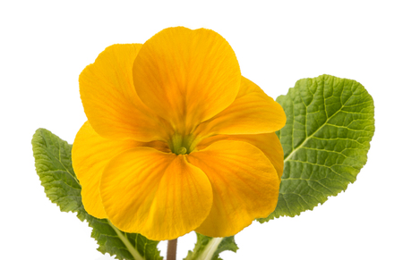 cowslip: yellow primrose with leaves isolated on white background Stock Photo