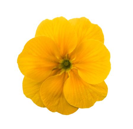 yellow primrose flower isolated on white Archivio Fotografico
